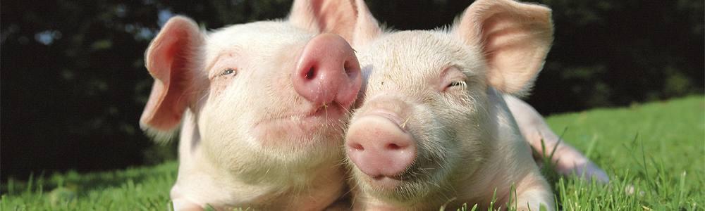 Vigili del fuoco salvano 18 maialini e poi li mangiano alla brace