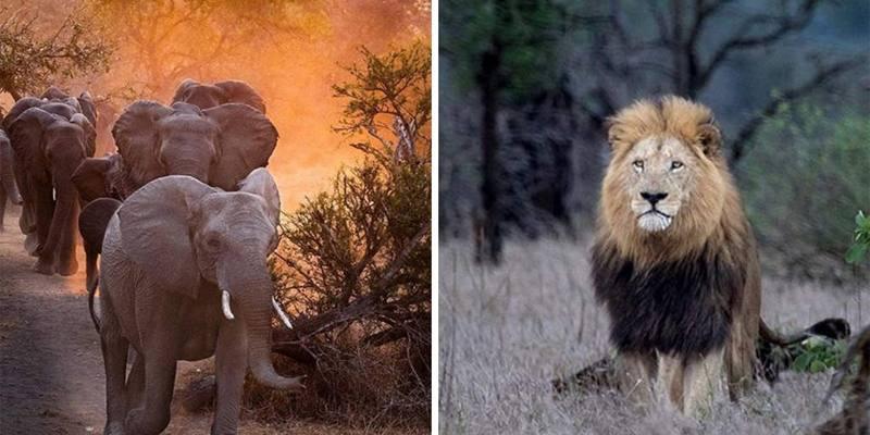bracconiere ucciso da un elefante e divorato dai leoni