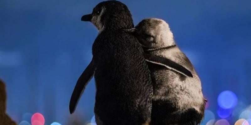 La foto di due pinguini rimasti vedovi che si confortano