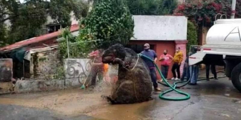 Il ratto gigante sbucato dalle fogne dopo il temporale