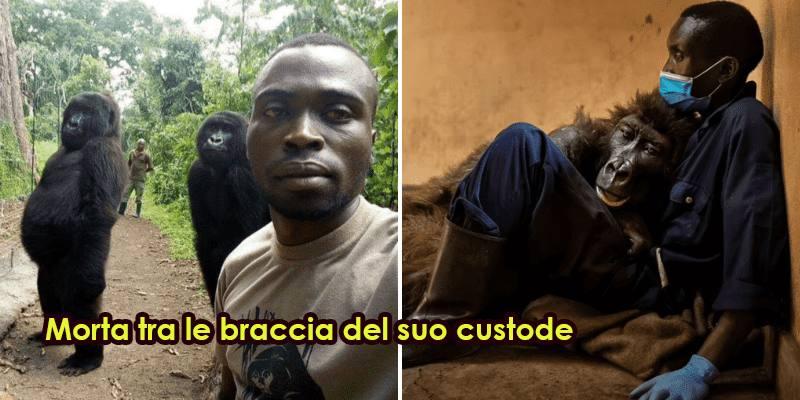 Morta tra le braccia del suo custode la gorilla Ndakasi